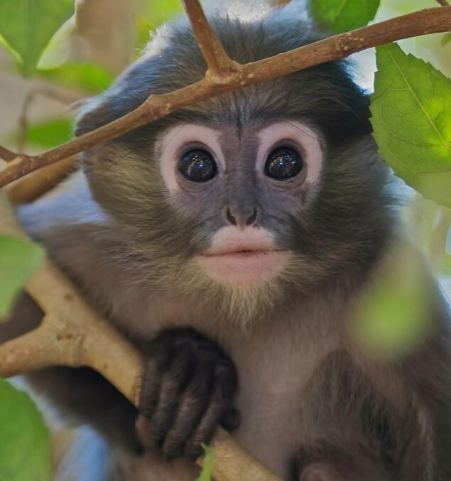 Languer belongs to the subfamily leaf monkeys