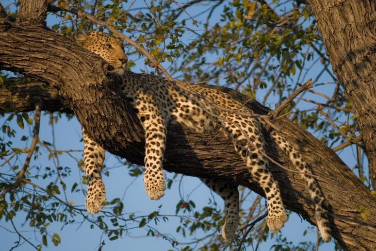 Leopard dog rests in a tree