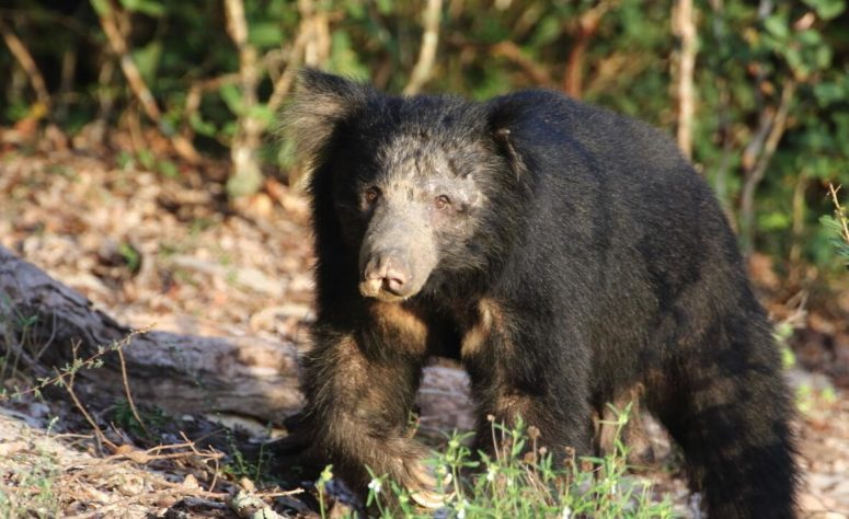 Lip bear occurs in eastern India and especially in Sri Lanka