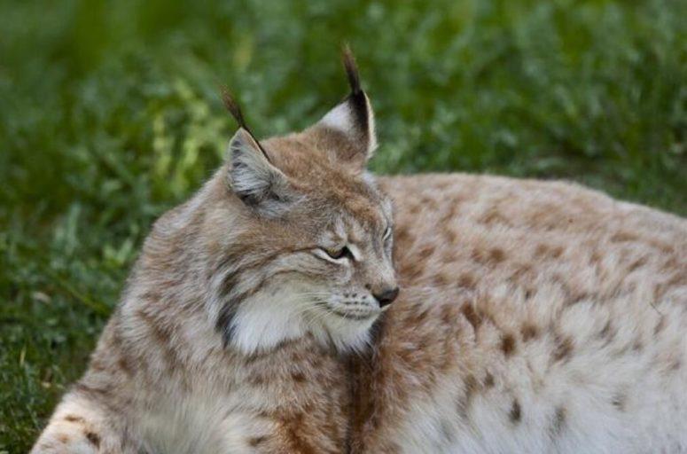 Lynx lynx, yawning