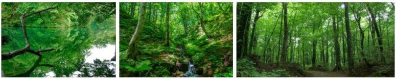 Shirakami Beech Forest
